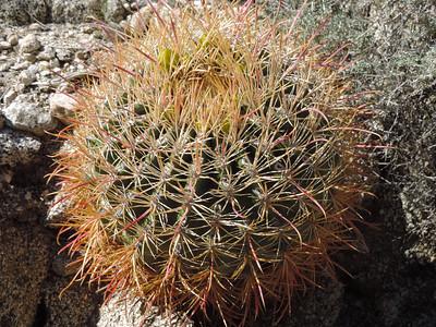 California Barrel Cactus (Ferocactus cylindraceus) CACTACEAE