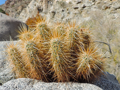 Hedgehog Cactus (Echinocereus engelmannii)