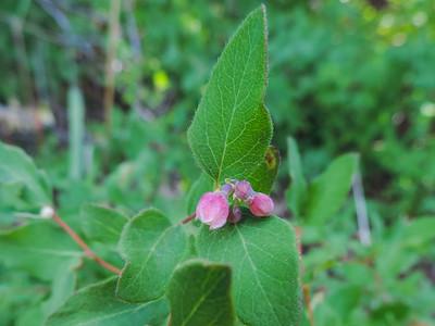 Common Snowberry (Symphoricarpos albus) CAPRIFOLIACEAE
