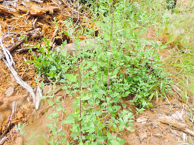 Common Lambsquarters (Chenopodium album) CHENOPODIACEAE