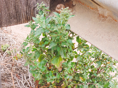 Nettle-leaf Goosefoot (Chenopodium murale) CHENOPODIACEAE
