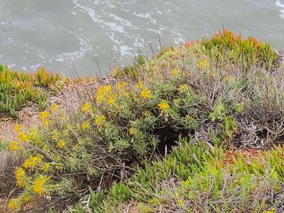 Bladderpod  (Peritoma arborea) CLEOMACEAE