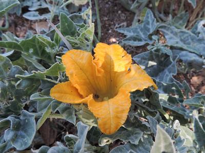 Coyote Melon (Cucurbita palmata) CUCURBITACEAE