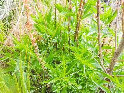 Durango Root (Datisca glomerata) DATISCACEAE