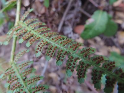 Coastal Wood Fern (Dryopteris arguta)