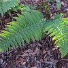 Coastal Wood Fern (Dryopteris arguta)