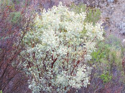 Pinkbracted Manzanita (Arctostaphylos pringlei ssp. drupacea) ERICACEAE