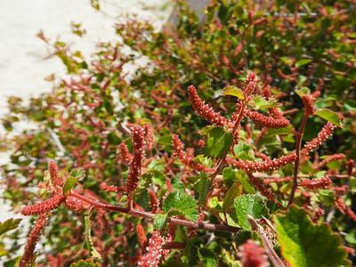 Copperleaf (Acalypha californica) EUPHORBIACEAE
