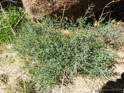 Narrow Leaved Stillingia (Stillingia linearifolia) EUPHORBIACEAE