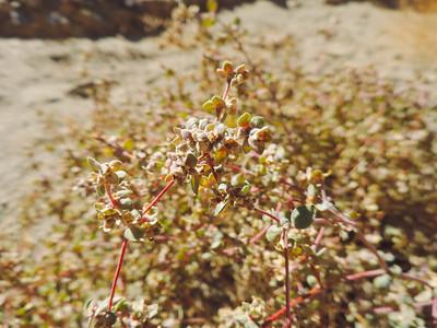 Smallseed Sandmat  (Euphorbia polycarpa) EUPHORBIACEAE