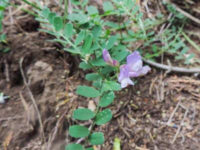 American Vetch (Vicia americana ssp. americana) FABACEAE