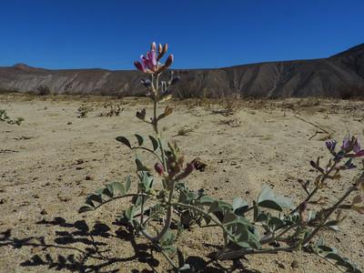 Borrego Milkvetch  (Astragalus lentiginosus var. borreganus) FABACEAE
