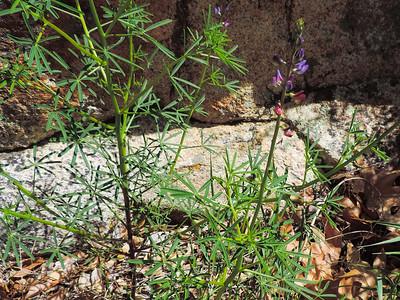 Collar Lupine  (Lupinus truncatus) FABACEAE