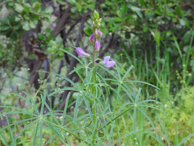 Collar Lupine (Lupinus truncatus)