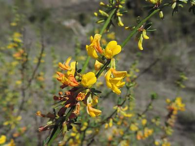 Deerweed (Acmispon glaber)