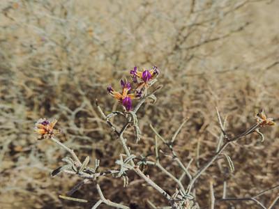 Dyebush  (Psorothamnus emoryi) FABACEAE