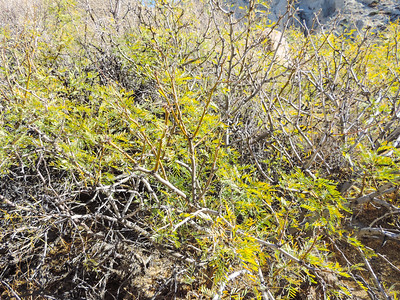 Honey Mesquite  (Prosopis glandulosa) FABACEAE