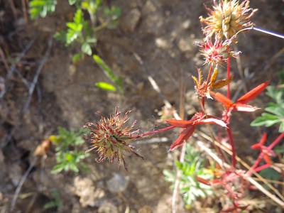Indian Clover (Trifolium albopurpureum) FABACEAE