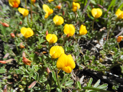 Prostrate Lotus (Acmispon strigosus) FABACEAE