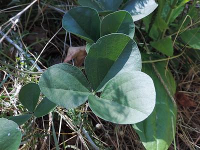 Round-leaved Psoralea (Hoita orbicularis) FABACEAE
