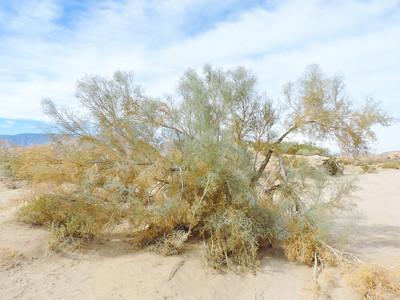 Smoke Tree  (Psorothamnus spinosus) FABACEAE