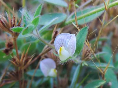 Spanish Lotus (Acmispon americanus var. americanus) FABACEAE