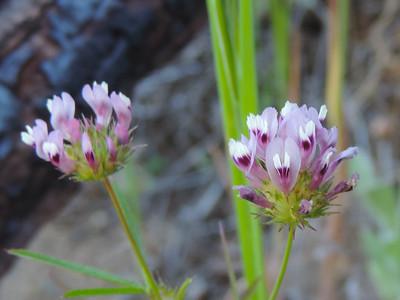 Tomcat Clover (Trifolium willdenovii)