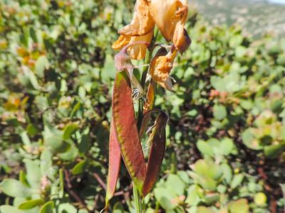 Wild Pea  (Lathyrus vestitus ssp. alefeldii) FABACEAE