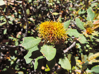 Bush Chinquapin (Chrysolepis sempervirens) FAGACEAE