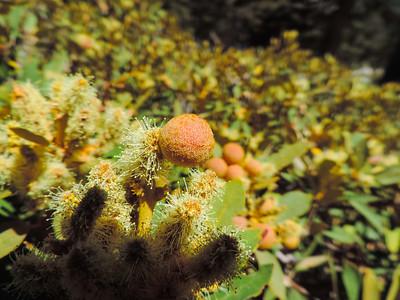 Bush Chinquapin (Chrysolepis sempervirens) FAGACEAE