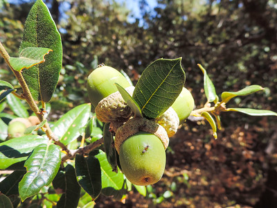 Canyon Live Oak (Quercus chrysolepis)