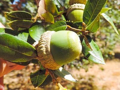 Canyon Live Oak (Quercus chrysolepis) FAGACEAE
