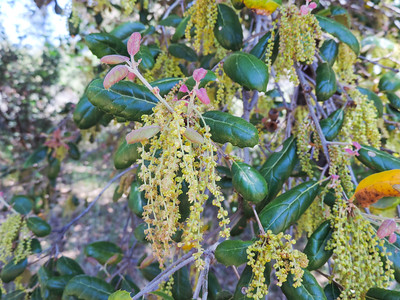 Coast Live Oak  (Quercus agrifolia) FAGACEAE