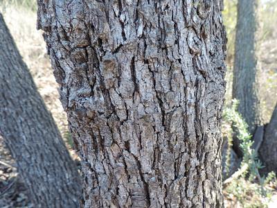 Engelmann Oak  (Quercus engelmannii) FAGACEAE
