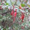 Fuchsia-flowered Gooseberry (Ribes speciosum)