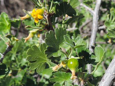 Golden Gooseberry (Ribes quercetorum) GROSSULARIACEAE