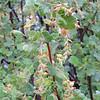 White-flowering Currant  (Ribes indecorum) GROSSULARIACEAEb