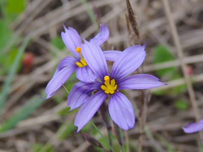 Blue-eyed Grass  (Sisyrinchium bellum) IRIDACEAE