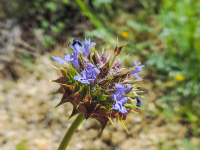 Chia  (Salvia columbariae) LAMIACEAE