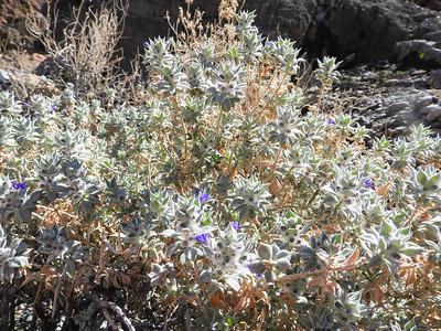 Death Valley Sage (Salvia funerea) LAMIACEAE