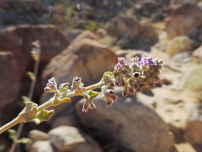 Desert Lavender (Hyptis emoryi) LAMIACEAE