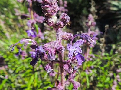 Mountain Bluecurls  (Trichostema parishii) LAMIACEAE