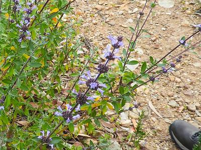 Munz's Sage (Salvia munzii) LAMIACEAE