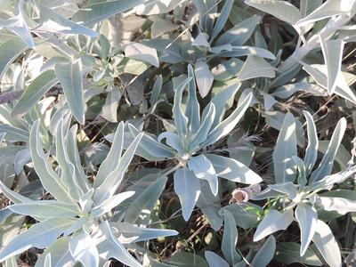 White Sage  (Salvia apiana) LAMIACEAE