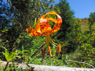 Humboldt Lily  (Lilium humboldtii ssp. ocellatum) LILIACEAE