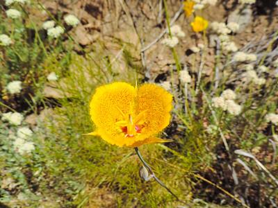 Weed's Mariposa Lily  (Calochortus weedii var. weedii) LILIACEAE