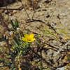 Blazing Star (Mentzelia affinis) LOASACEAE