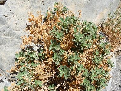 Desert Rocknettle (Eucnide urens) LOASACEAE