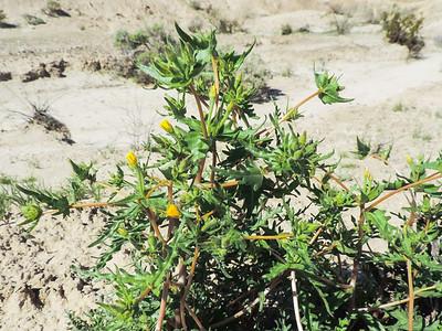 Whitestem Blazingstar (Mentzelia albicaulis) LOASACEAE