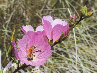Checkerbloom  (Sidalcea sparsifolia) MALVACEAE